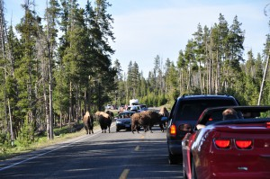 Bison file in Yellowstone