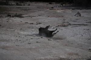 Bison rollend in het stof