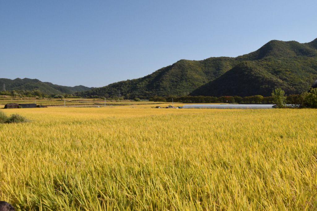 Koreaanse rijstvelden direct buiten het Hahoe Folk Village