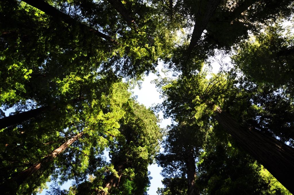 Avenue of the Giants met Redwoods meer dan 100 meter hoog