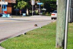 Verdwaalde schildpad in Fort Myers