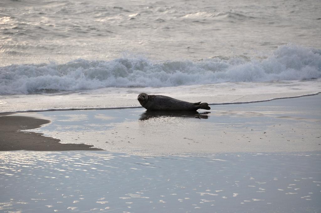 Zeehond aan de kust van Oregon